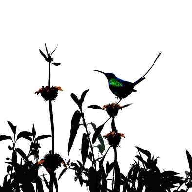 Malachite sunbird on Leonotus leonurus.jpg